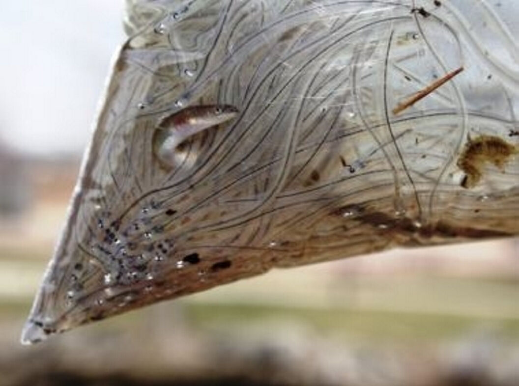 Glass animals: Tracking the enigmatic American eel