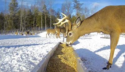 DEC announces change to deer feeding regs