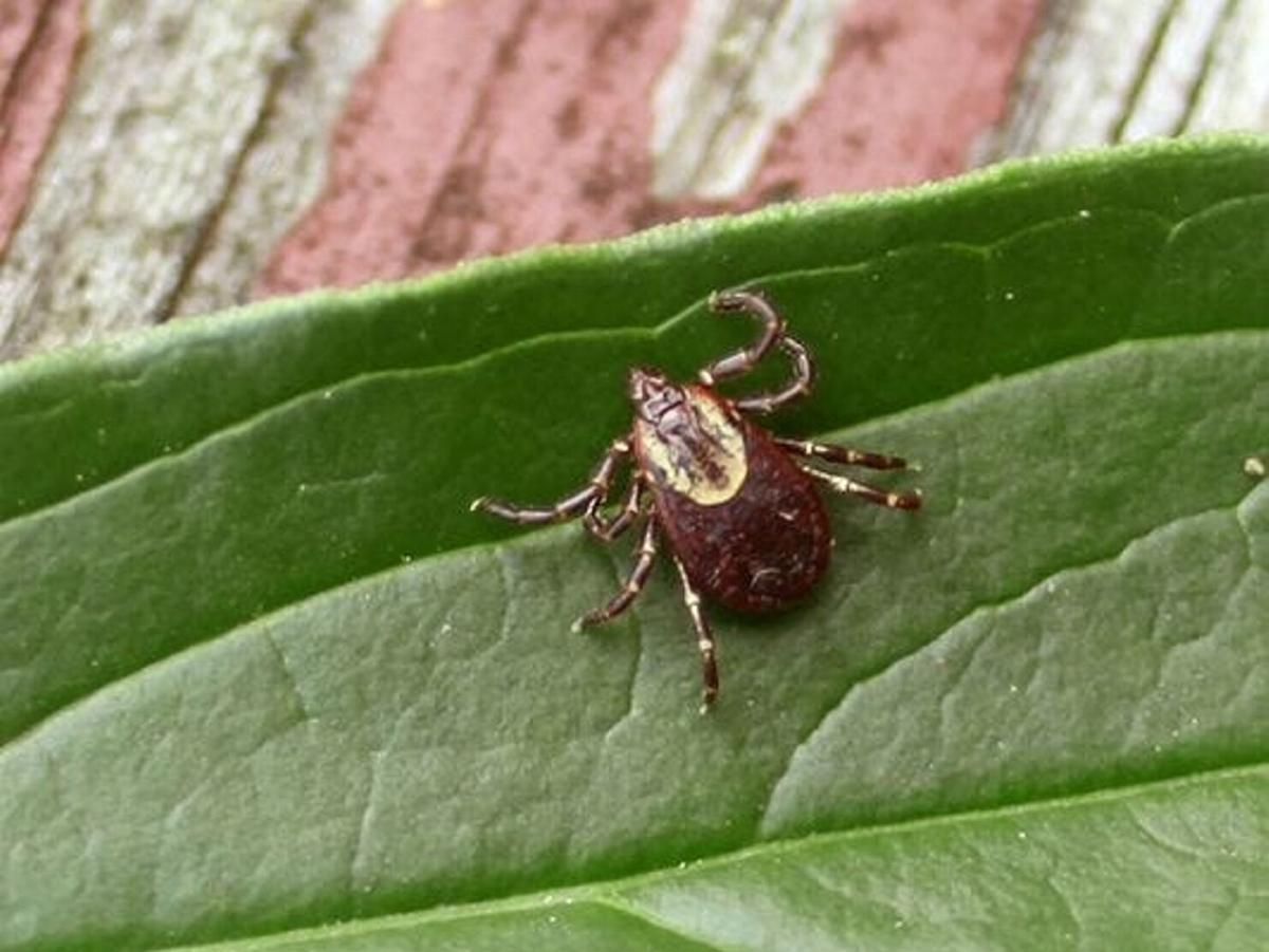 Gillibrand seeks $50M for Lyme disease research