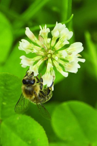 Bee-friendly lawns