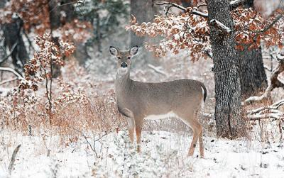 DEC proposes 'holiday' deer hunt