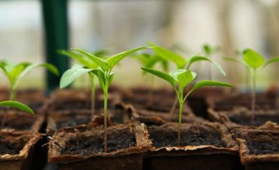Shopping for seedlings
