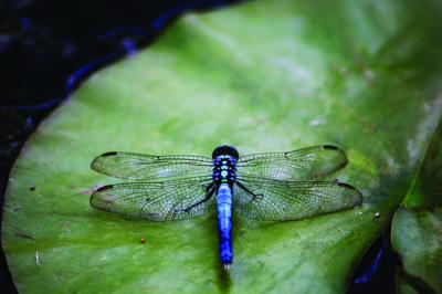 Turning your yard into a Dragonfly habitat