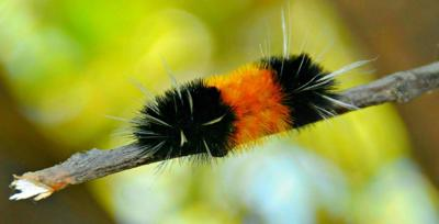 Woolly caterpillar