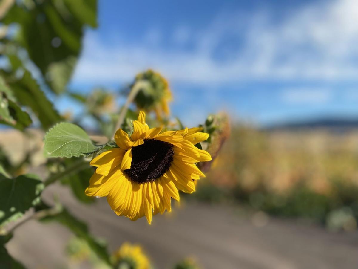Sunflower photo 1