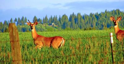 Deer photo (copy)