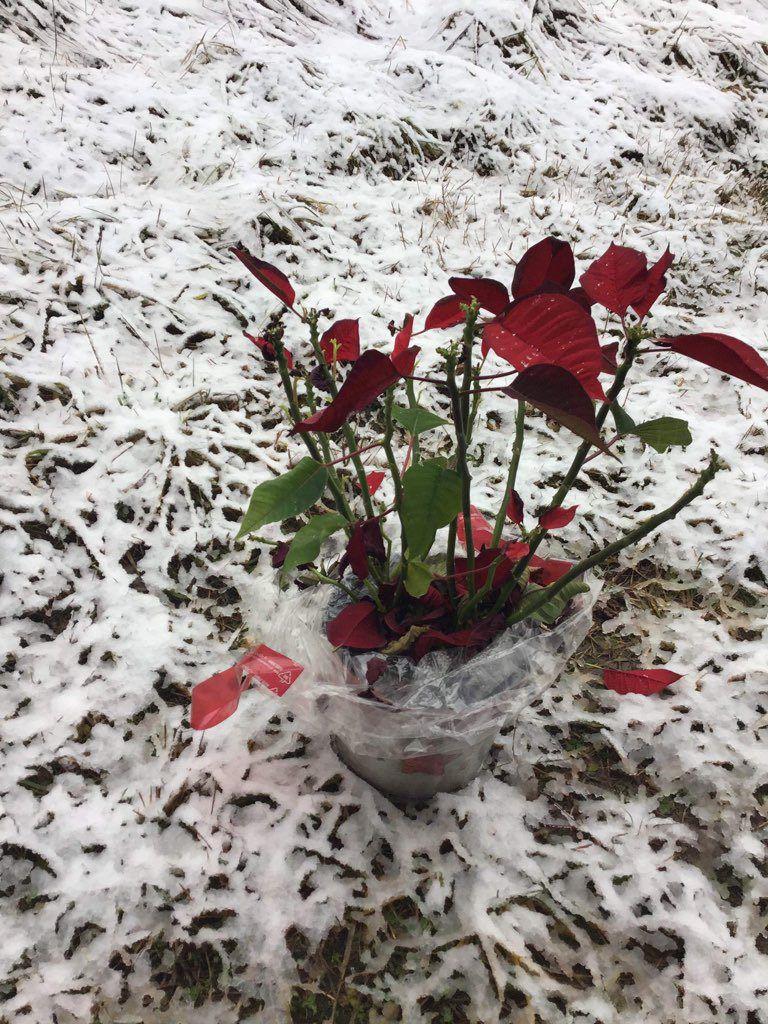 Holidays over, Poinsettia dead!