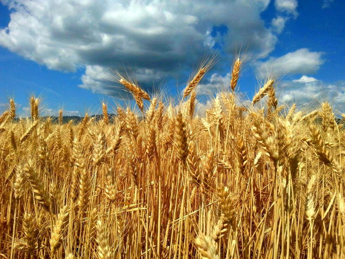 Winter Wheat Production in Northwest Region up 1 Percent from May
