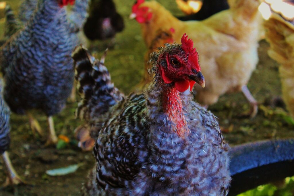 Chickens photo