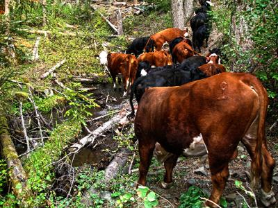 USDA Reopens Application Period for Producers Recovering from Cattle Loss, Other Disasters