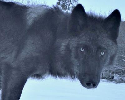 Fish&Game Wolf photo