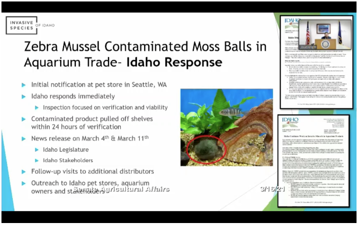 Zebra mussels and moss balls image