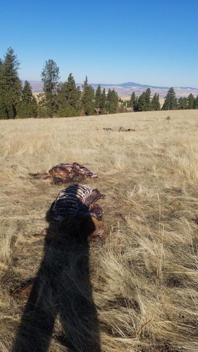 Five White Bird Hill Bull Elk Found Slain Together Oct 16 Guest