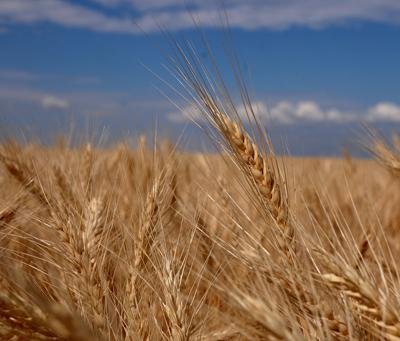 Idaho wheat producers expect to plant 1.24 million acres this year; up 6 percent from 2017