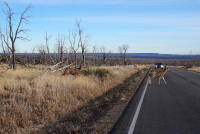 Deer road traffic - tang90246-RF.jpg