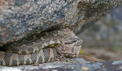 A rattlesnake nestled tightly under a rock overhang in the Methow Valley Ranger District.