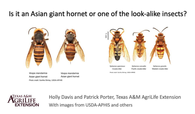 Asian giant hornet and Texas native species comparison
