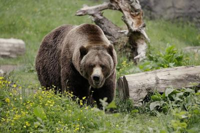 Grizzly. bear