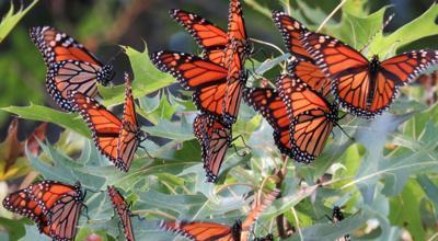 Monarch Flutterbys