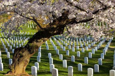 A cherry tree blossoms in April overlooking the fallen at Arlington National Cemetery.