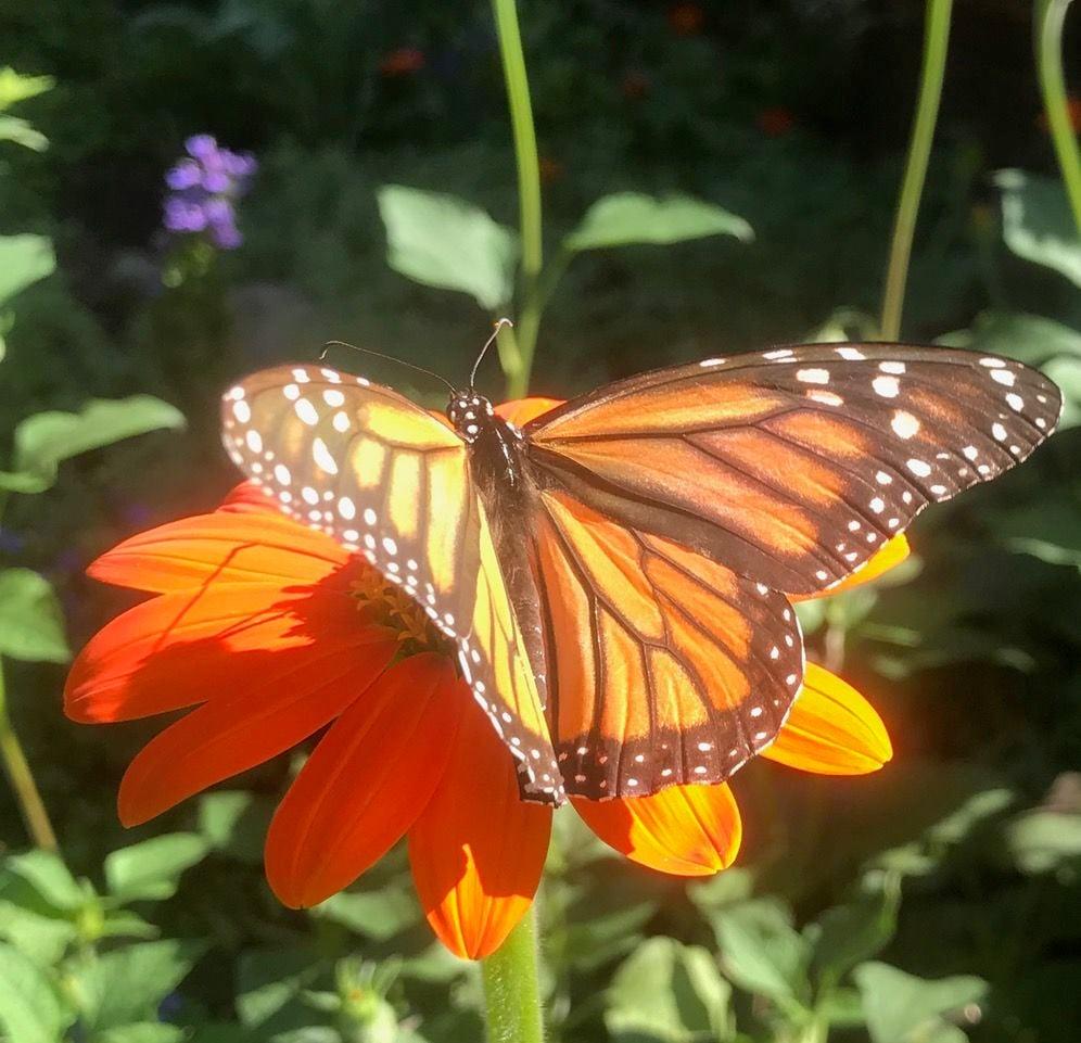 Monarchs 01
