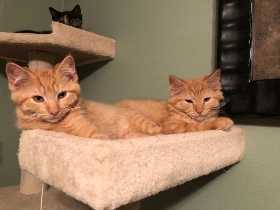 2 orange kittens.jpg
