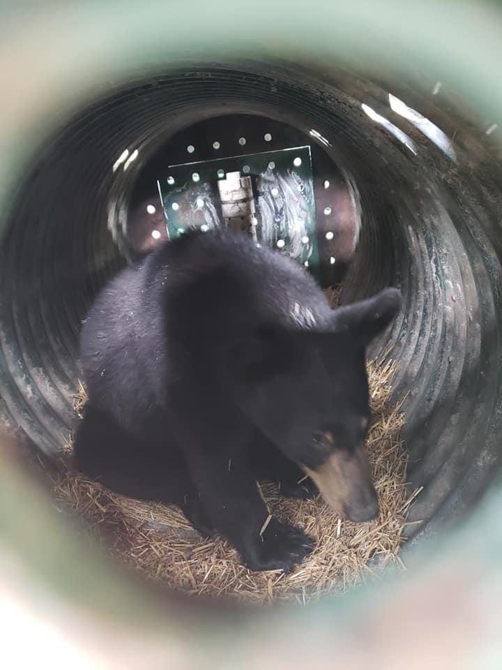 captured bear
