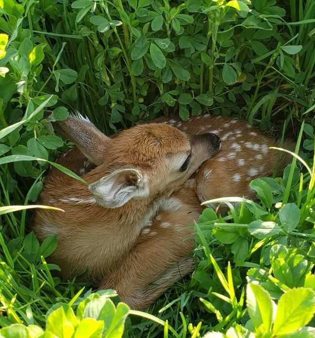 Seeing fawns?