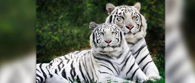 tiger-lopez