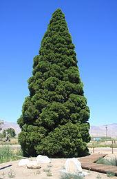 Big Pine Roosevelt Tree