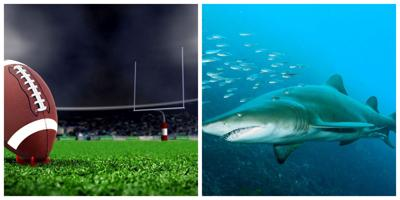 Nurse sharks to make prediction as to who will win the Big Game on Feb 2