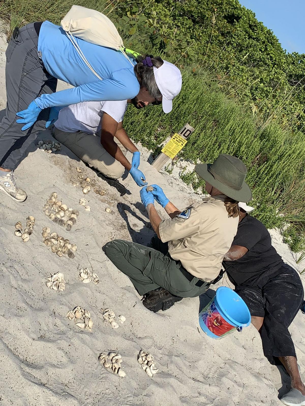 Volunteers document turtle nest survival ratios