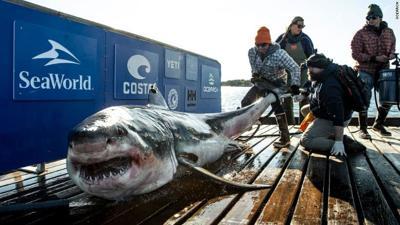 Ironbound white shark