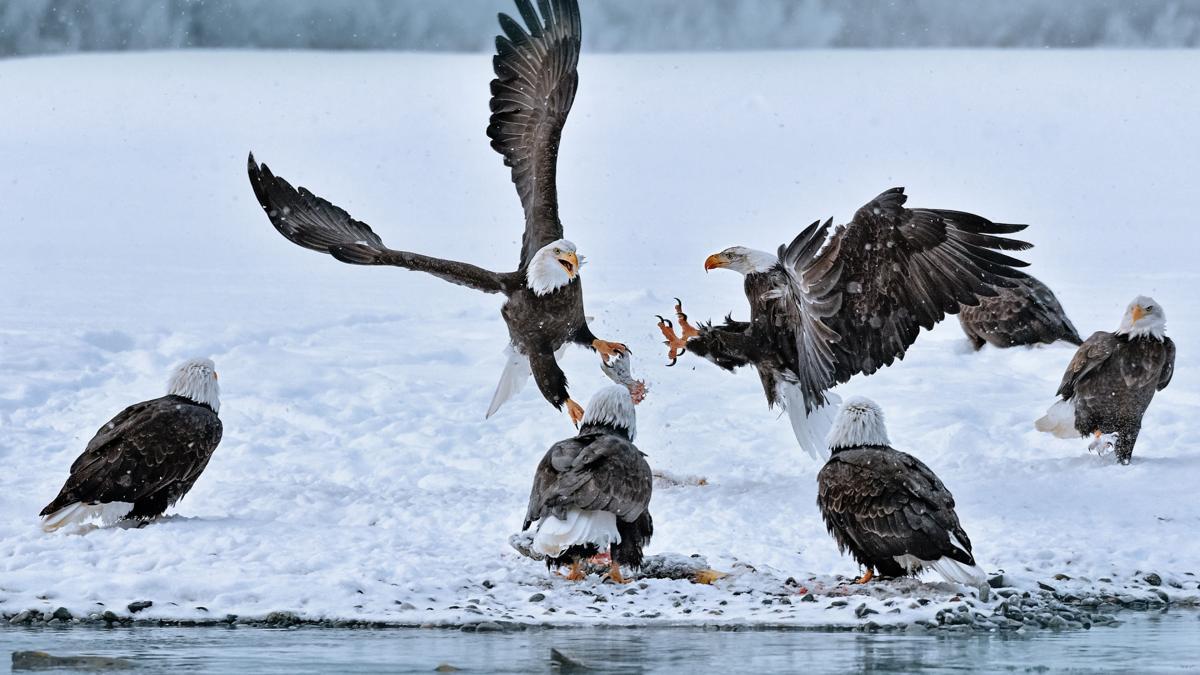 Eagle skirmish over salmon