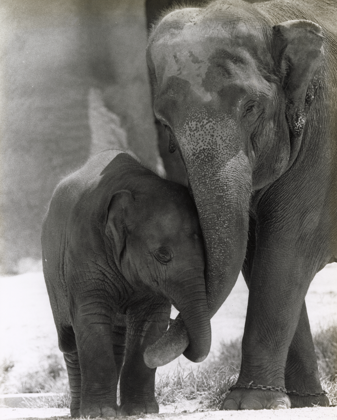 The long and storied life of Spike, the Crandon Park Zoo elephant