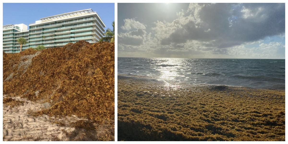Sargassum is a way of life on the key; webinars showcase experts discussing alternate ways to cope with it