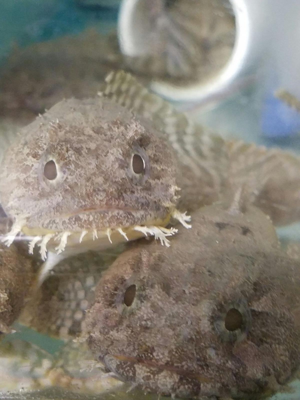Toadfish in the lab
