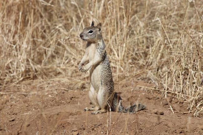 New guide helps organic growers manage burrowing rodents
