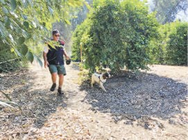 Dogs find signs of HLB bacteria in citrus groves