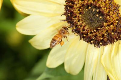 New tool improves beekeepers' overwintering odds