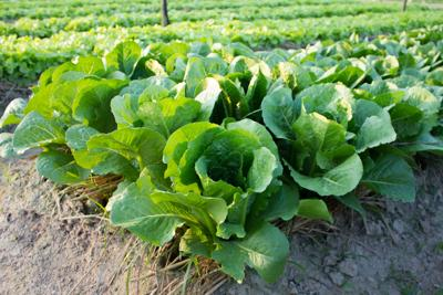 Produce industry groups respond to E. coli outbreak