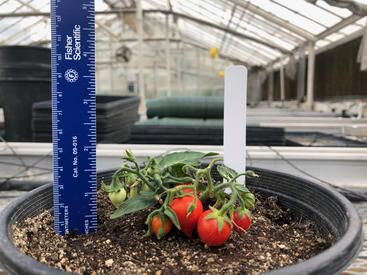Tiny tomatoes could mean big profits for urban agriculture