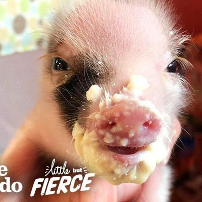 Tiniest, Cutest Pig Ever Grows Up FEISTY | The Dodo Little But Fierce