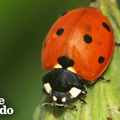 The Stunning Life Cycle Of A Ladybug | The Dodo