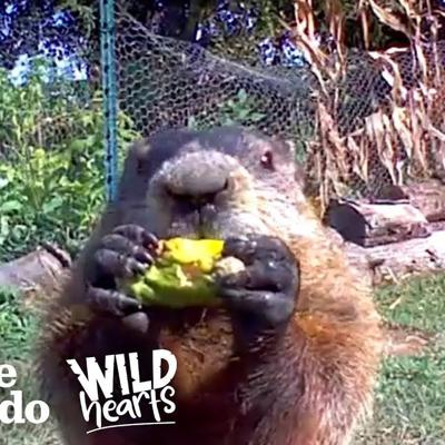 Guy Catches Adorable Groundhog Eating His Veggie Garden | The Dodo Wild Hearts