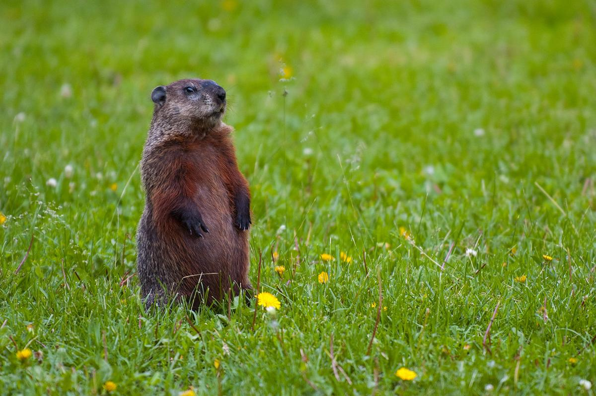 Why the groundhog?