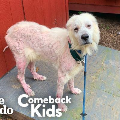 Hairless Great Pyrenees Turns Into The Fluffiest, Happiest Dog | The Dodo Comeback Kids