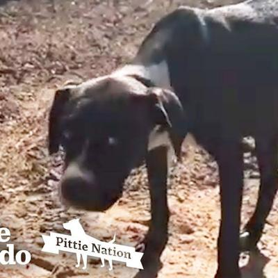Skittish Pittie Dumped in Orchard is Finally Caught by Rescuers | The Dodo Pittie Nation