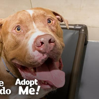 Pittie Stuck In The Shelter For A Year Just Wants To Be A Family Member  | The Dodo Adopt Me!