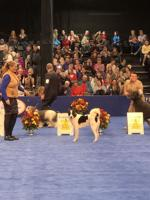 <p>Avi hits the spotlight at the Kennel Club of Philadelphia competition last month. Avi is a Canaan dog, the 'National Breed of Israel.'</p>
